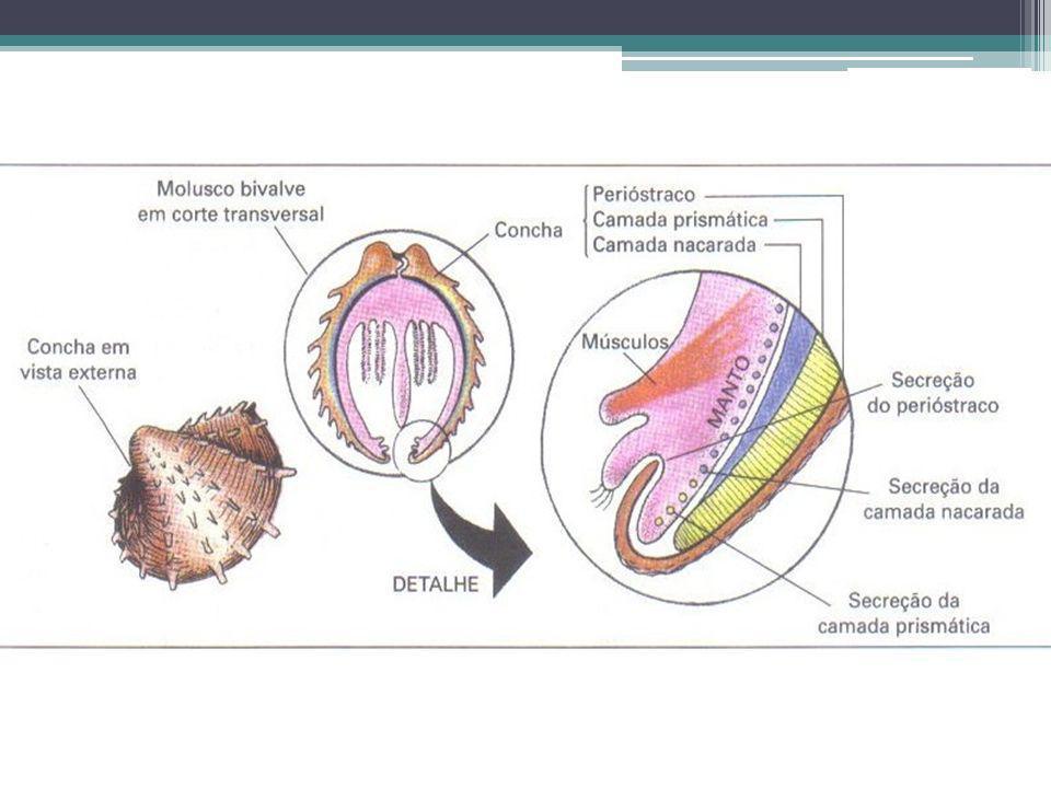 Classe Gastropoda: Possui o maior número de espécies dentre os moluscos, com cerca de 70.000 espécies.