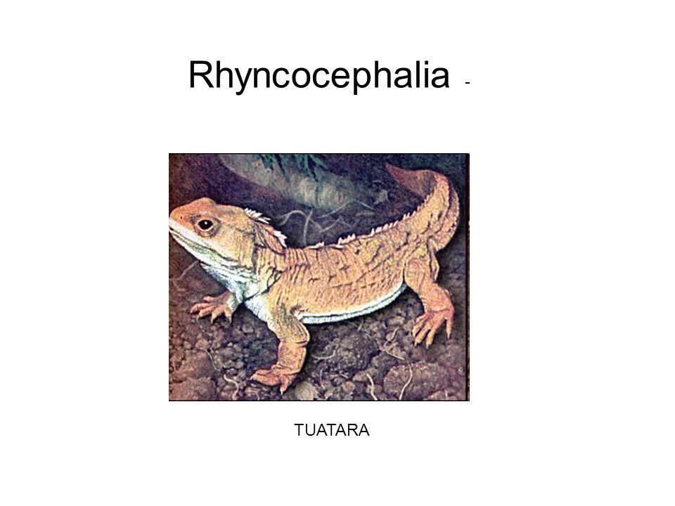 TUATARA Rhyncocephalia -