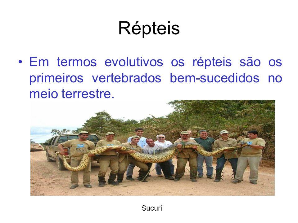 Répteis Em termos evolutivos os répteis são os primeiros vertebrados bem-sucedidos no meio terrestre. Sucuri