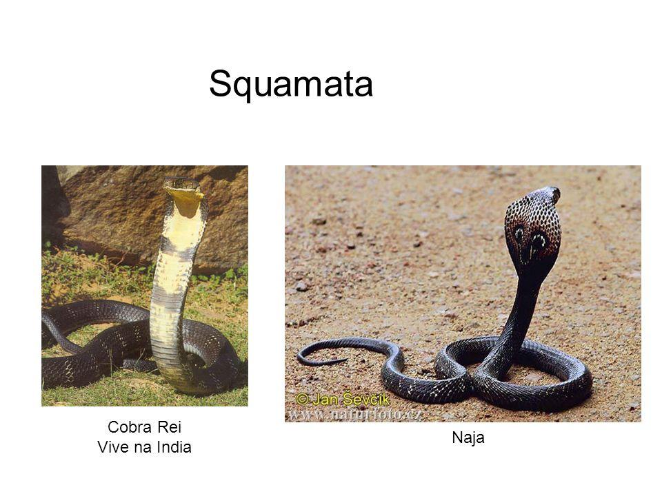 Cobra Rei Vive na India Naja Squamata