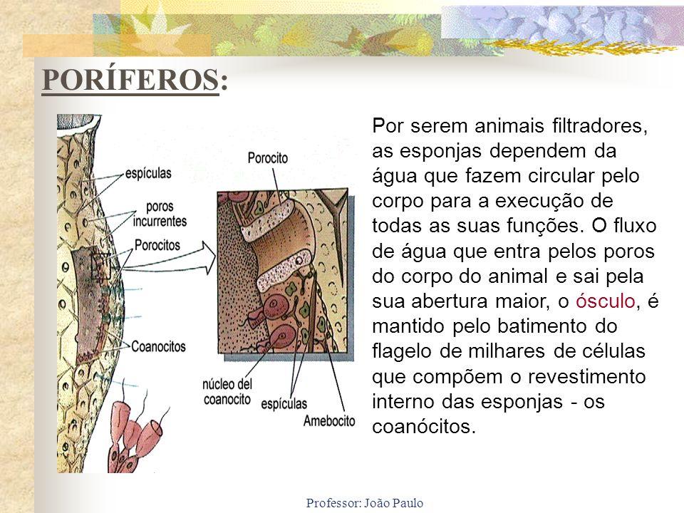 Professor: João Paulo Por serem animais filtradores, as esponjas dependem da água que fazem circular pelo corpo para a execução de todas as suas funçõ