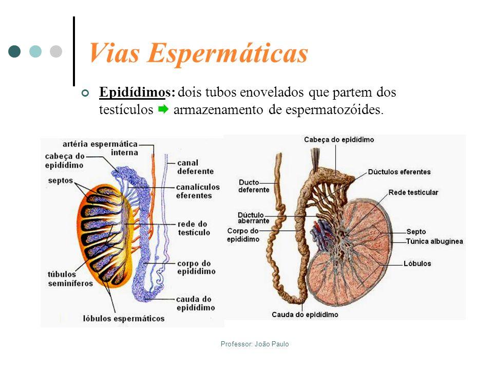 Professor: João Paulo Vias Espermáticas Epidídimos: dois tubos enovelados que partem dos testículos armazenamento de espermatozóides.