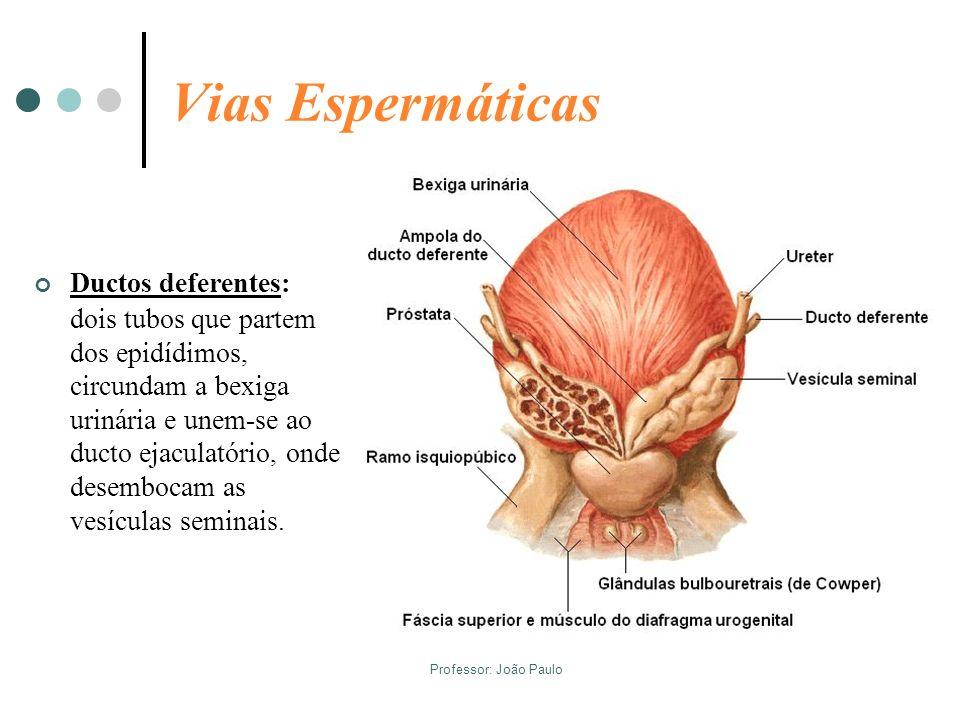Professor: João Paulo Vias Espermáticas Ductos deferentes: dois tubos que partem dos epidídimos, circundam a bexiga urinária e unem-se ao ducto ejacul