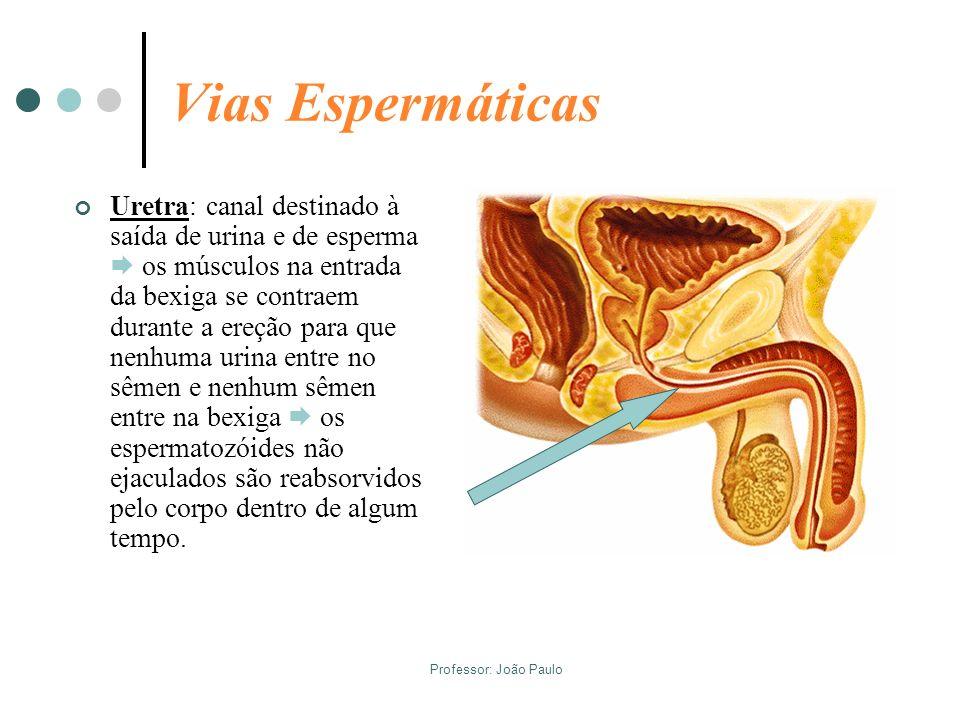 Professor: João Paulo Vias Espermáticas Uretra: canal destinado à saída de urina e de esperma os músculos na entrada da bexiga se contraem durante a e