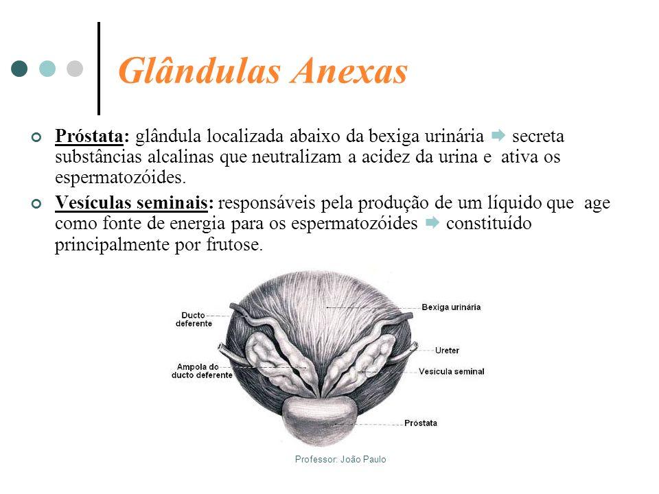 Professor: João Paulo Glândulas Anexas Próstata: glândula localizada abaixo da bexiga urinária secreta substâncias alcalinas que neutralizam a acidez