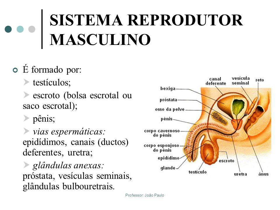 SISTEMA REPRODUTOR MASCULINO É formado por: testículos; escroto (bolsa escrotal ou saco escrotal); pênis; vias espermáticas: epidídimos, canais (ducto