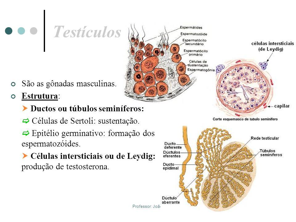 Professor: João Paulo T estículos São as gônadas masculinas. Estrutura: Ductos ou túbulos seminíferos: Células de Sertoli: sustentação. Epitélio germi