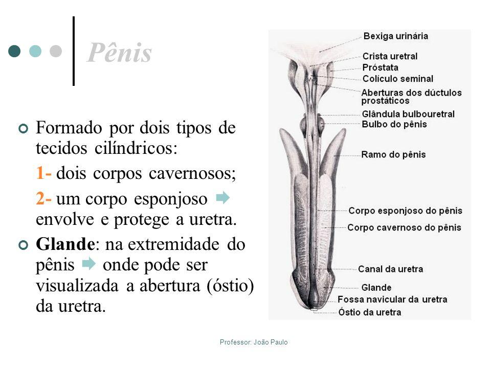Professor: João Paulo Pênis Formado por dois tipos de tecidos cilíndricos: 1- dois corpos cavernosos; 2- um corpo esponjoso envolve e protege a uretra