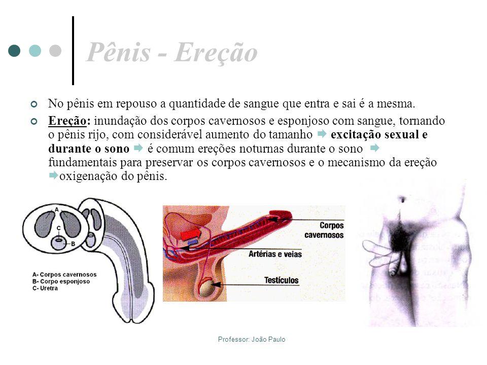 Professor: João Paulo Pênis - Ereção No pênis em repouso a quantidade de sangue que entra e sai é a mesma. Ereção: inundação dos corpos cavernosos e e