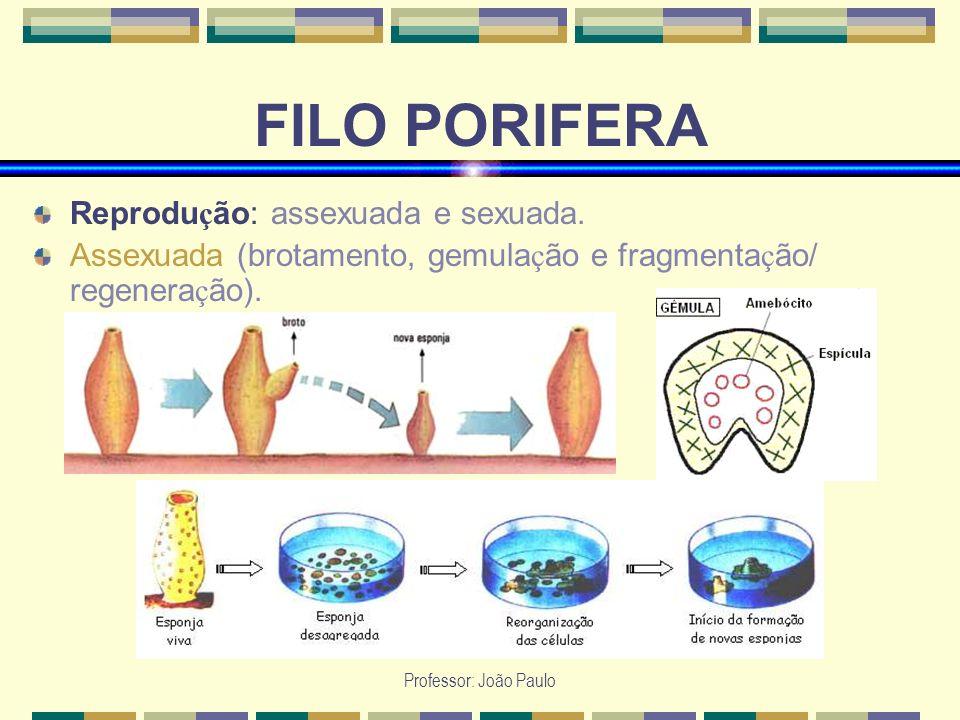 Professor: João Paulo FILO PORIFERA Reprodu ç ão: assexuada e sexuada. Assexuada (brotamento, gemula ç ão e fragmenta ç ão/ regenera ç ão).