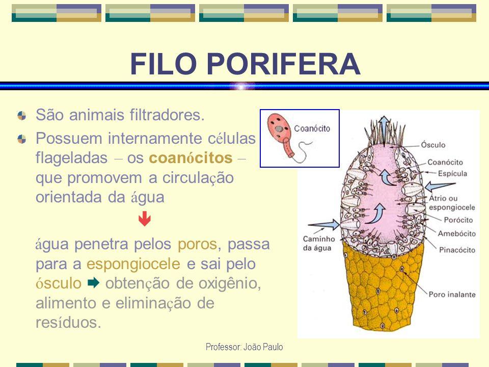 Professor: João Paulo FILO PORIFERA São animais filtradores. Possuem internamente c é lulas flageladas – os coan ó citos – que promovem a circula ç ão