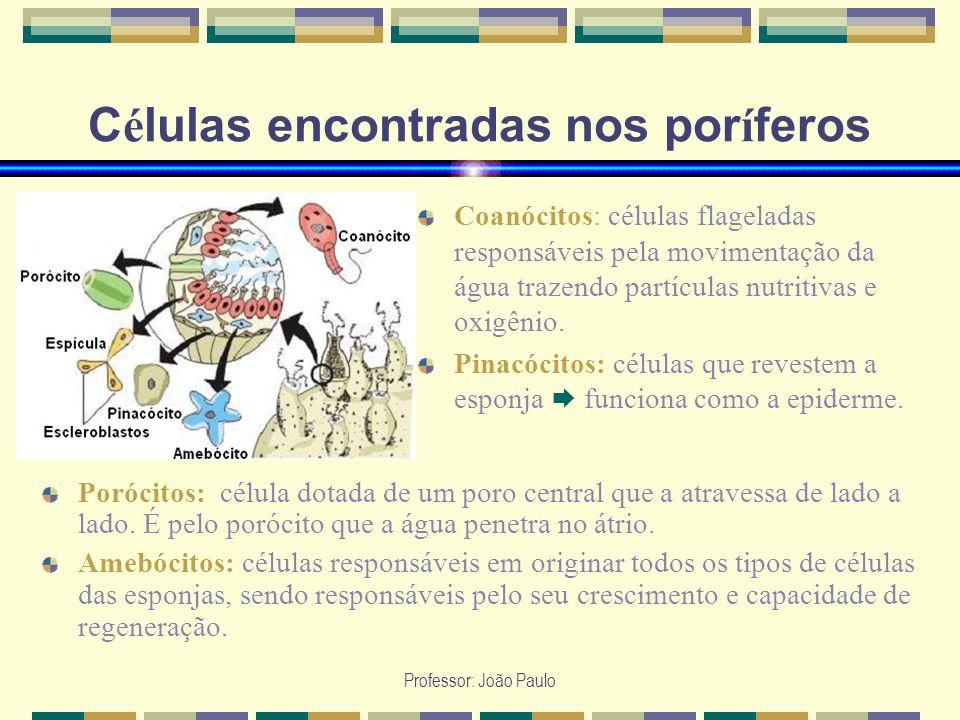 Professor: João Paulo C é lulas encontradas nos por í feros Coanócitos: células flageladas responsáveis pela movimentação da água trazendo partículas