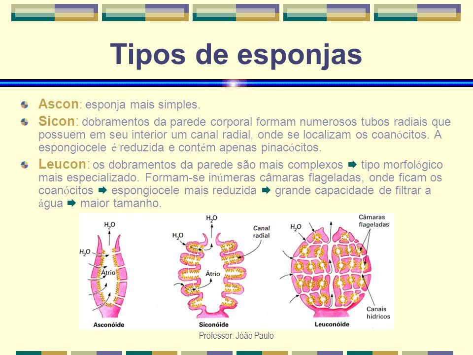 Professor: João Paulo Tipos de esponjas Ascon : esponja mais simples. Sicon: dobramentos da parede corporal formam numerosos tubos radiais que possuem