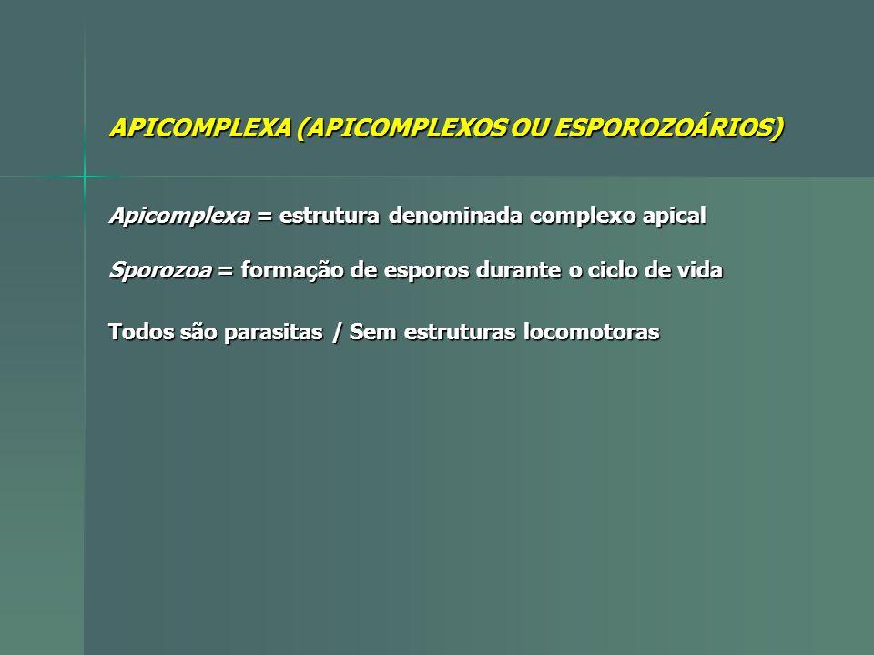 APICOMPLEXA (APICOMPLEXOS OU ESPOROZOÁRIOS) Todos são parasitas / Sem estruturas locomotoras Apicomplexa = estrutura denominada complexo apical Sporoz
