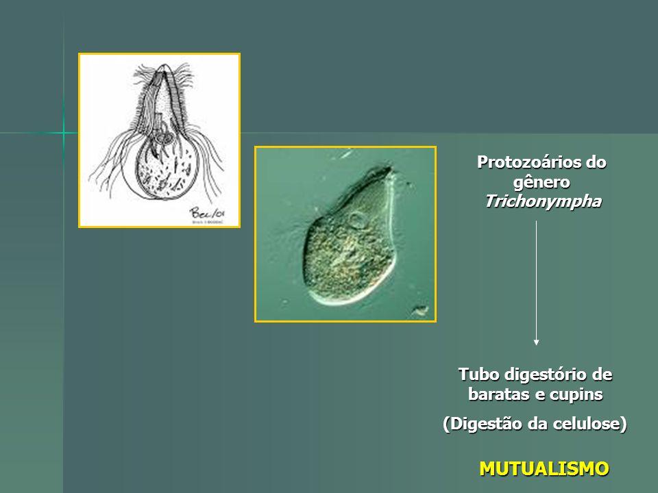 Protozoários do gênero Trichonympha Tubo digestório de baratas e cupins (Digestão da celulose) MUTUALISMO