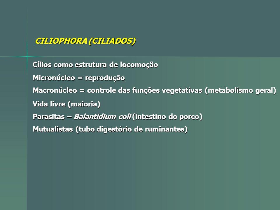 CILIOPHORA (CILIADOS) Cílios como estrutura de locomoção Micronúcleo = reprodução Macronúcleo = controle das funções vegetativas (metabolismo geral) V