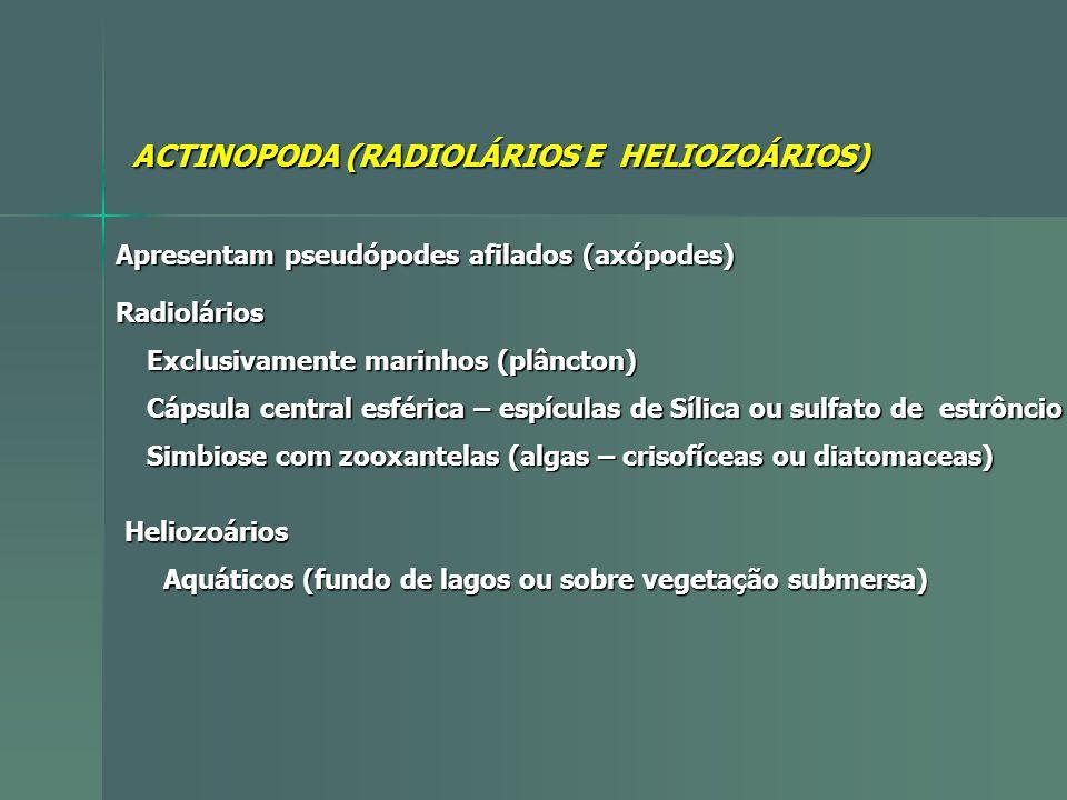 ACTINOPODA (RADIOLÁRIOS E HELIOZOÁRIOS) Apresentam pseudópodes afilados (axópodes) Radiolários Exclusivamente marinhos (plâncton) Exclusivamente marin