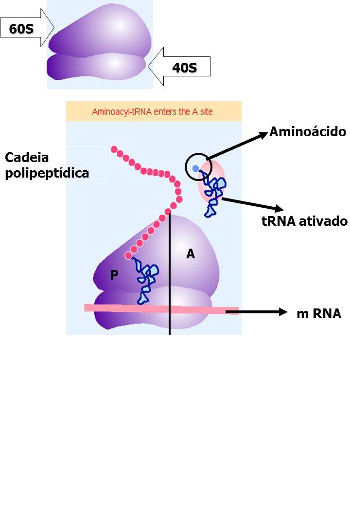 40S 60S A P Cadeia polipeptídica Aminoácido tRNA ativado m RNA