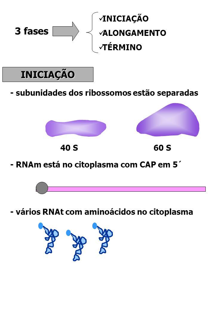 3 fases INICIAÇÃO ALONGAMENTO TÉRMINO INICIAÇÃO - subunidades dos ribossomos estão separadas 40 S60 S - RNAm está no citoplasma com CAP em 5´ - vários
