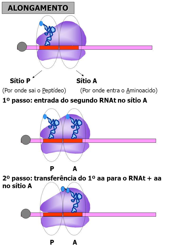 ALONGAMENTO Sítio PSítio A (Por onde sai o Peptídeo)(Por onde entra o Aminoacido) 1º passo: entrada do segundo RNAt no sítio A P A 2º passo: transferê