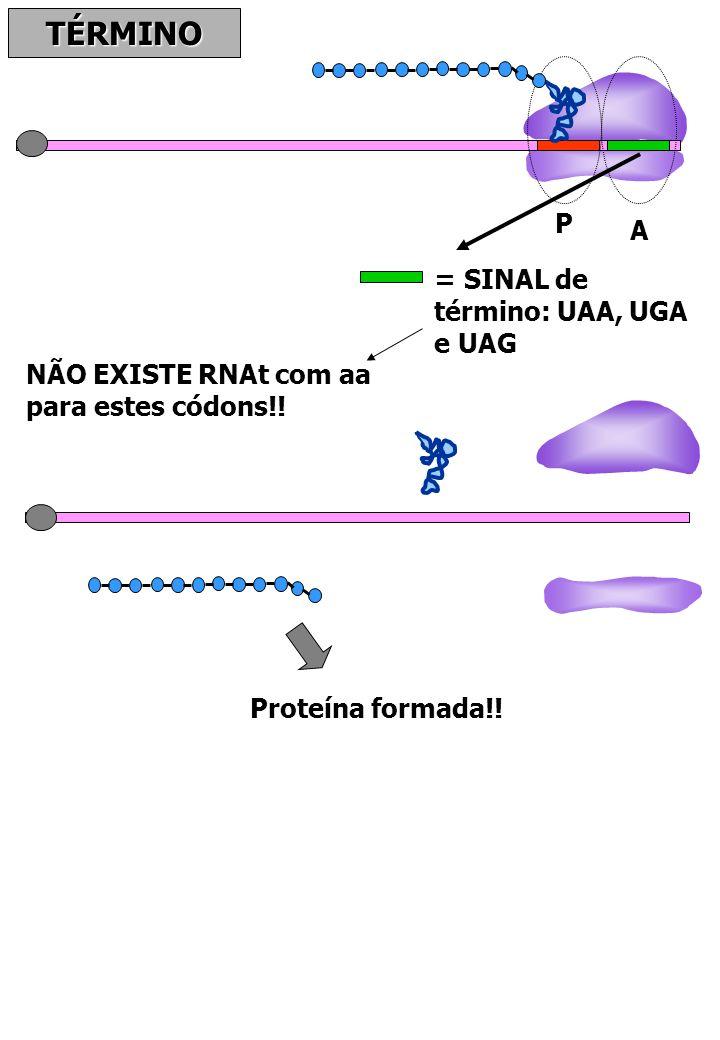 TÉRMINO P A = SINAL de término: UAA, UGA e UAG NÃO EXISTE RNAt com aa para estes códons!! Proteína formada!!