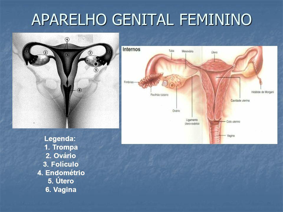 APARELHO GENITAL FEMININO Legenda: 1. Trompa 2. Ovário 3. Folículo 4. Endométrio 5. Útero 6. Vagina