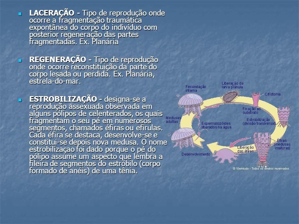 LACERAÇÃO - Tipo de reprodução onde ocorre a fragmentação traumática expontânea do corpo do indivíduo com posterior regeneração das partes fragmentada