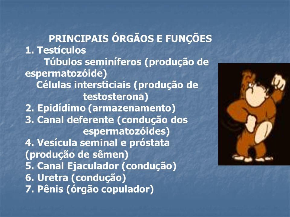 PRINCIPAIS ÓRGÃOS E FUNÇÕES 1. Testículos Túbulos seminíferos (produção de espermatozóide) Células intersticiais (produção de testosterona) 2. Epidídi