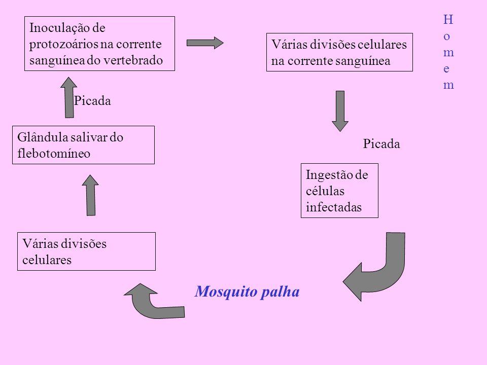 Inoculação de protozoários na corrente sanguínea do vertebrado Várias divisões celulares na corrente sanguínea Glândula salivar do flebotomíneo Várias