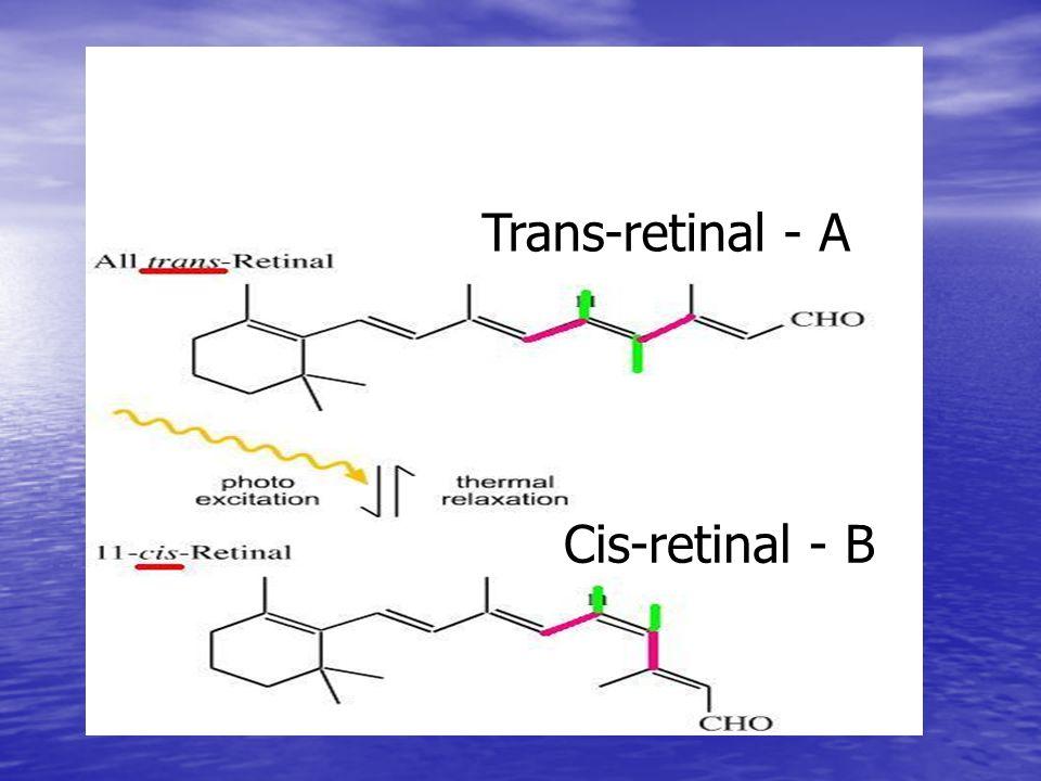 Cis-retinal - B Trans-retinal - A
