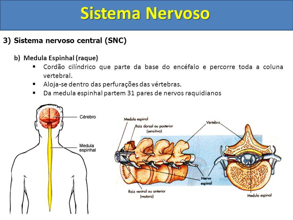 Sistema Nervoso 3)Sistema nervoso central (SNC) b) Medula Espinhal (raque) Cordão cilíndrico que parte da base do encéfalo e percorre toda a coluna ve