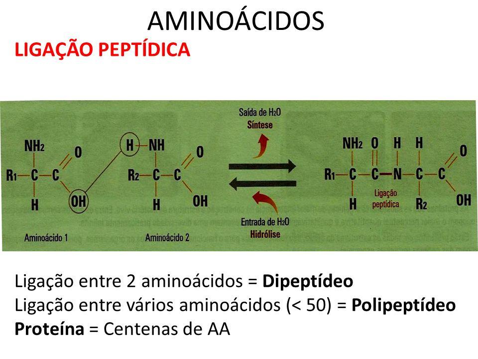 AMINOÁCIDOS LIGAÇÃO PEPTÍDICA Ligação entre 2 aminoácidos = Dipeptídeo Ligação entre vários aminoácidos (< 50) = Polipeptídeo Proteína = Centenas de A