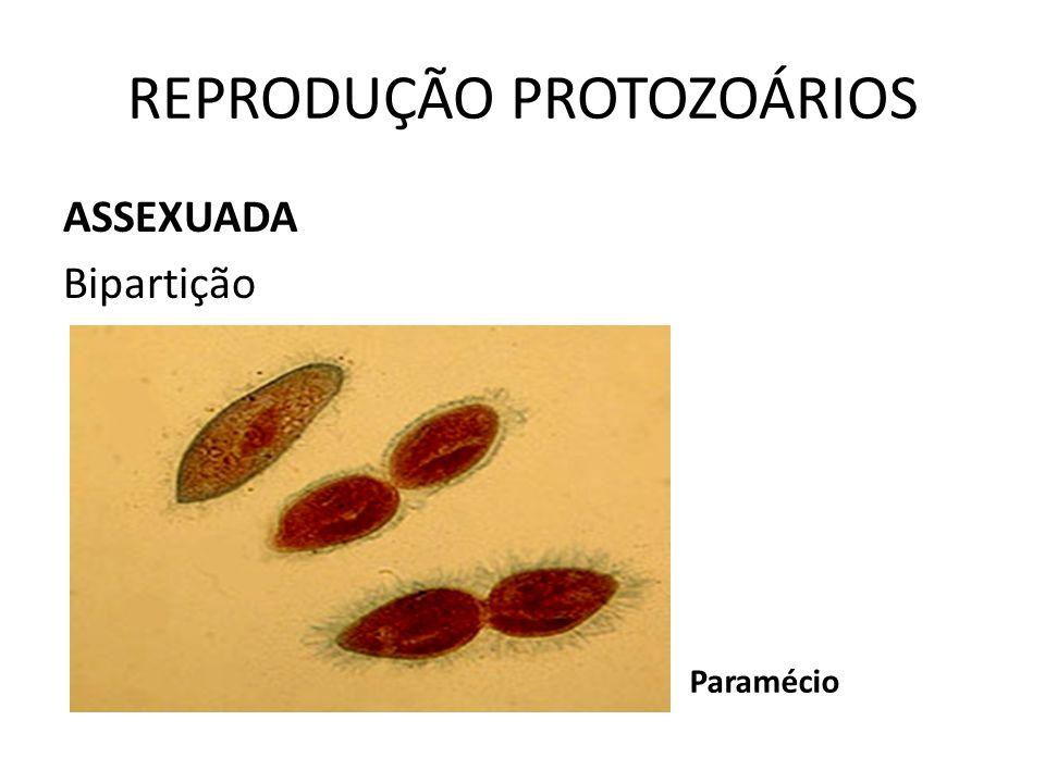 REPRODUÇÃO PROTOZOÁRIOS ASSEXUADA Bipartição Paramécio