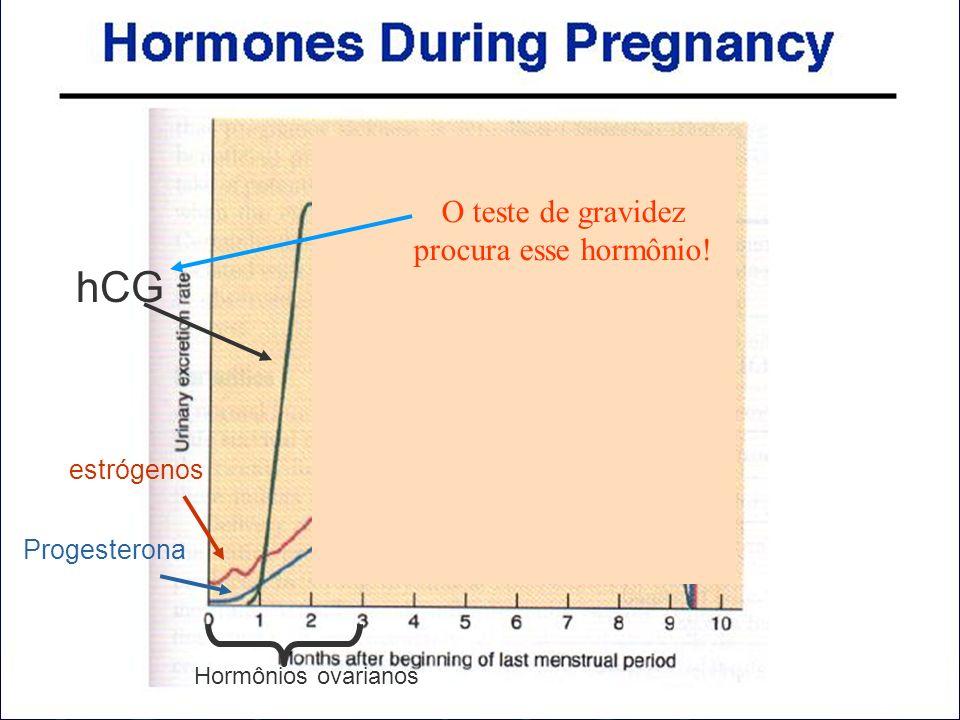 hCG Hormônios ovarianos estrógenos Progesterona O teste de gravidez procura esse hormônio!