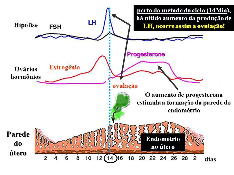 perto da metade do ciclo (14°dia), há nítido aumento da produção de LH, ocorre assim a ovulação! O aumento de progesterona estimula a formação da pare