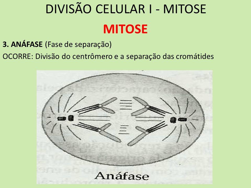 DIVISÃO CELULAR I - MITOSE MITOSE 3. ANÁFASE (Fase de separação) OCORRE: Divisão do centrômero e a separação das cromátides