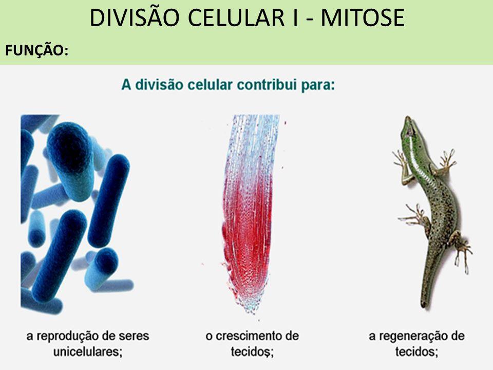 DIVISÃO CELULAR I - MITOSE FUNÇÃO: