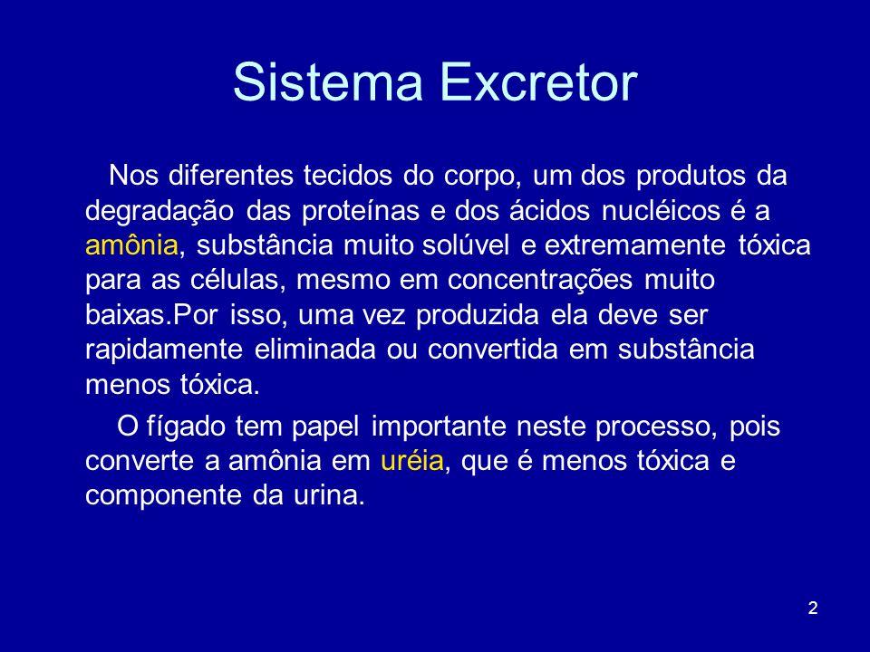 2 Sistema Excretor Nos diferentes tecidos do corpo, um dos produtos da degradação das proteínas e dos ácidos nucléicos é a amônia, substância muito so
