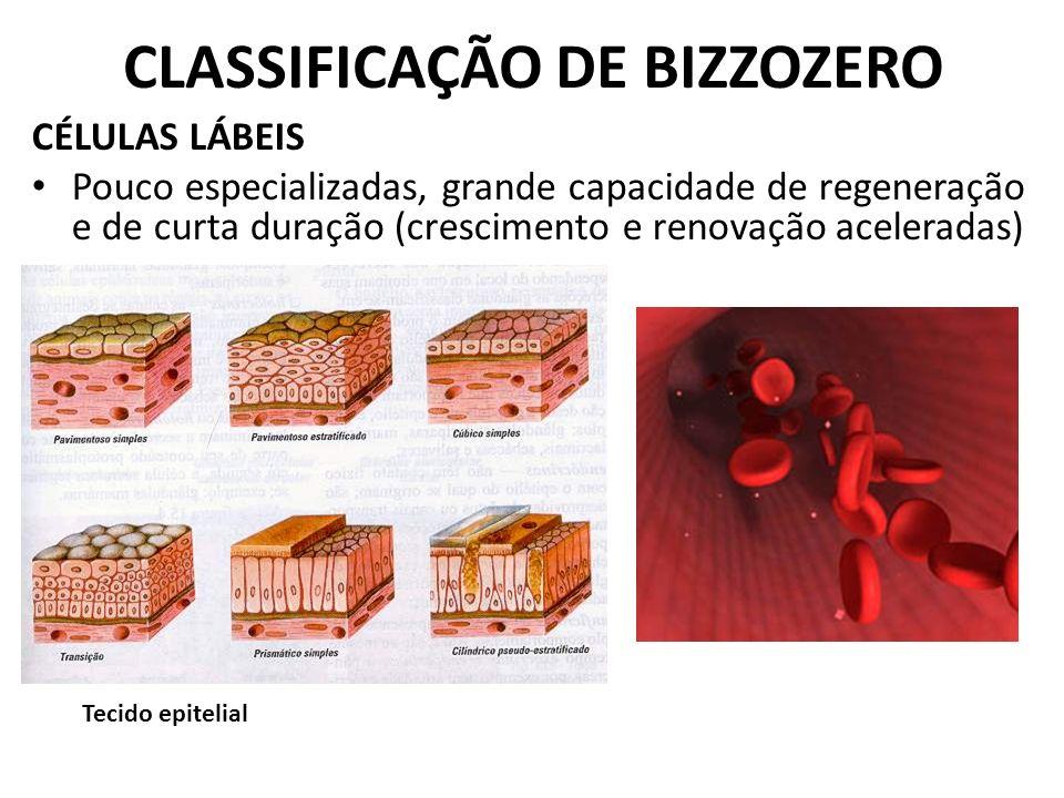 CLASSIFICAÇÃO DE BIZZOZERO CÉLULAS LÁBEIS Pouco especializadas, grande capacidade de regeneração e de curta duração (crescimento e renovação acelerada