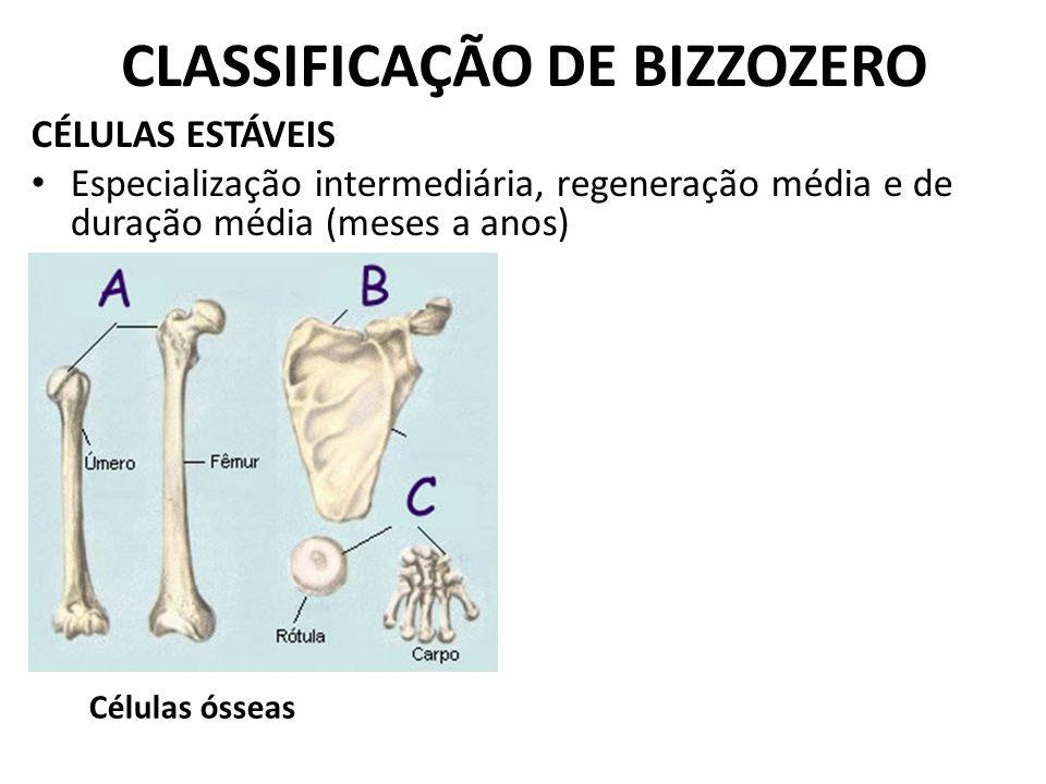 CLASSIFICAÇÃO DE BIZZOZERO CÉLULAS ESTÁVEIS Especialização intermediária, regeneração média e de duração média (meses a anos) Células ósseas
