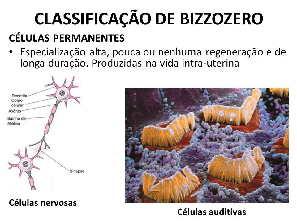 CLASSIFICAÇÃO DE BIZZOZERO CÉLULAS PERMANENTES Especialização alta, pouca ou nenhuma regeneração e de longa duração. Produzidas na vida intra-uterina