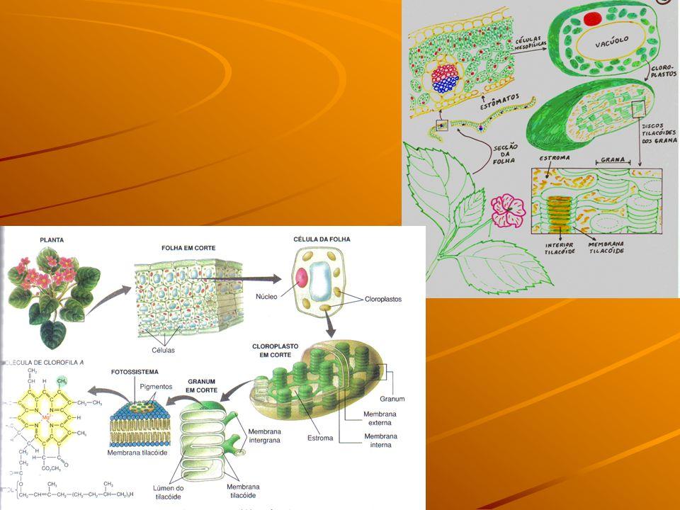 Presente nas células VEGETAIS E ALGAS Há 2 tipos: Cromoplastos Leucoplastos LeucoplastosENERGÉTICA 2. PLASTOS LEUCOPLASTOSCROMOPLASTOS PIGMENTO Ausent