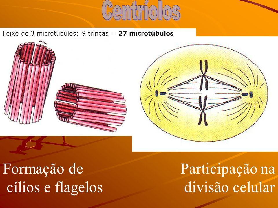 Microtúbulos de proteínas Formação do fuso mitótico – Divisão celular Não existe em VEGETAIS SUPERIORES MOVIMENTO 1. CENTRÍOLOS