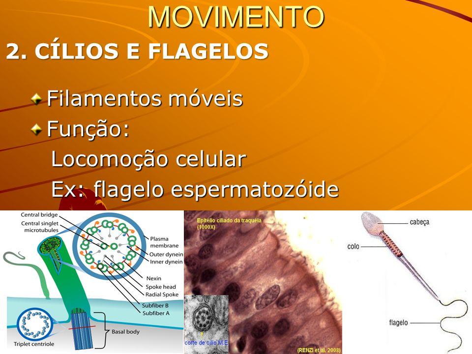 Participação na divisão celular Formação de cílios e flagelos Feixe de 3 microtúbulos; 9 trincas = 27 microtúbulos