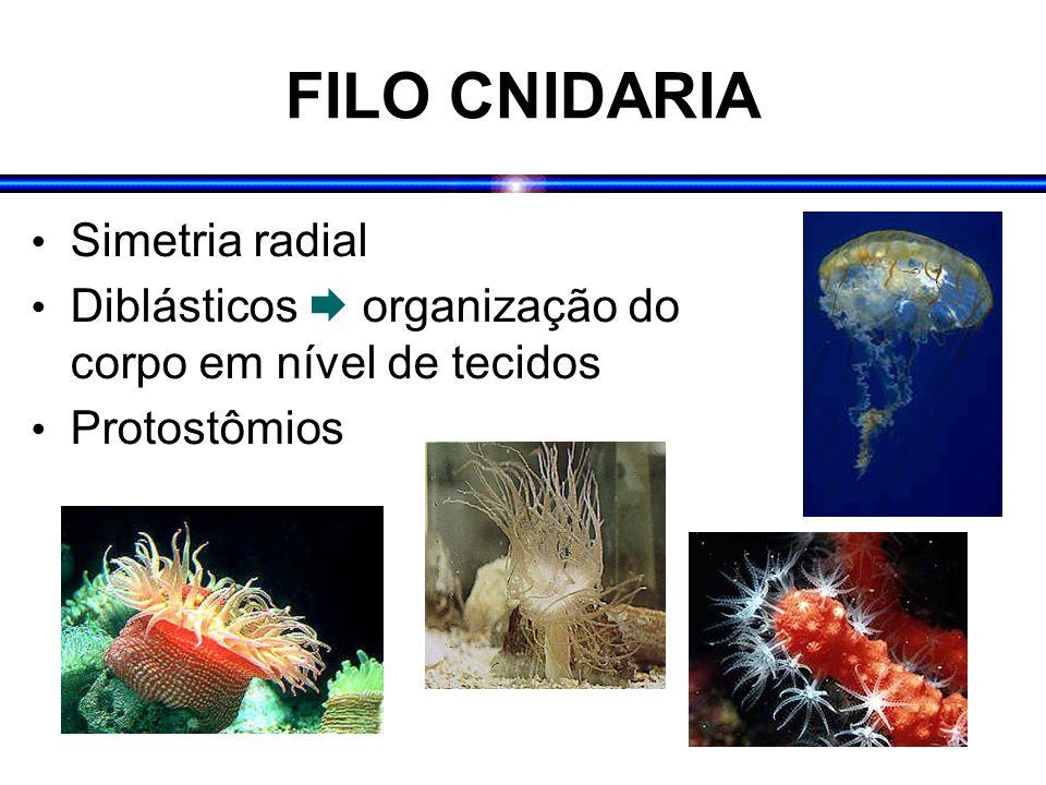 FILO CNIDARIA Simetria radial Diblásticos organização do corpo em nível de tecidos Protostômios