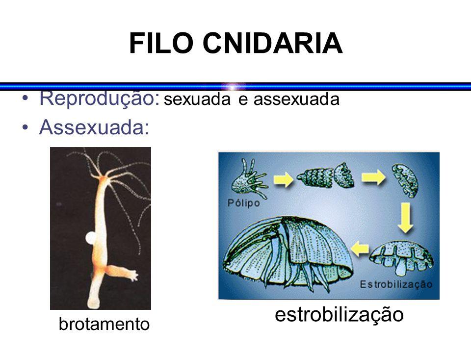 FILO CNIDARIA Sexuada: fecundação interna ou externa e direta; desenvolvimento externo, direto ou indireto (larva plânula) Desenvolvimento direto: