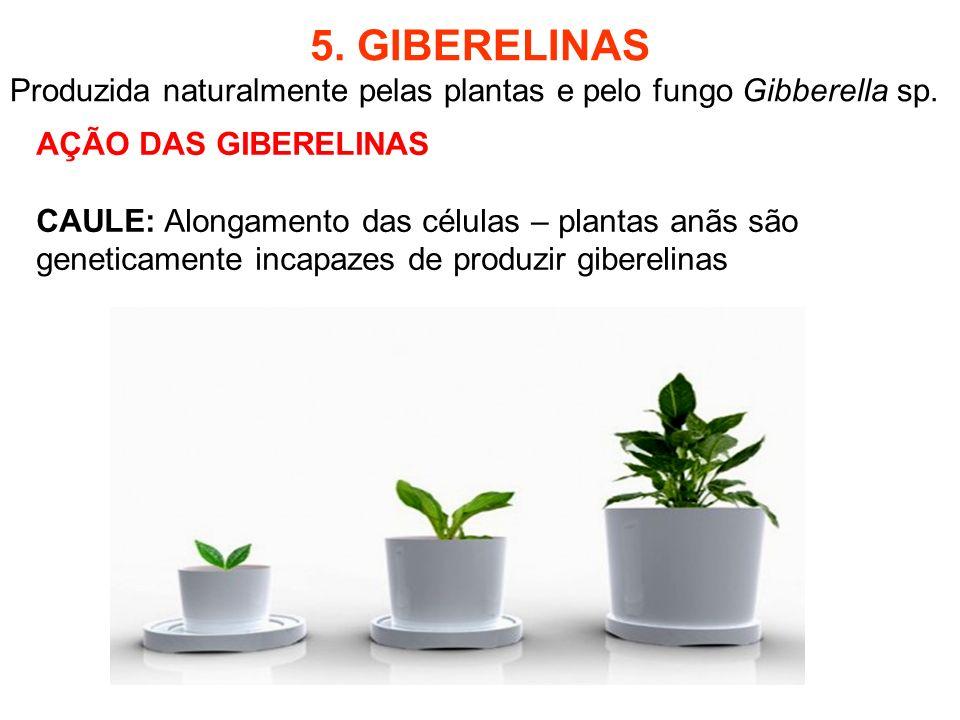 5. GIBERELINAS Produzida naturalmente pelas plantas e pelo fungo Gibberella sp. AÇÃO DAS GIBERELINAS CAULE: Alongamento das células – plantas anãs são