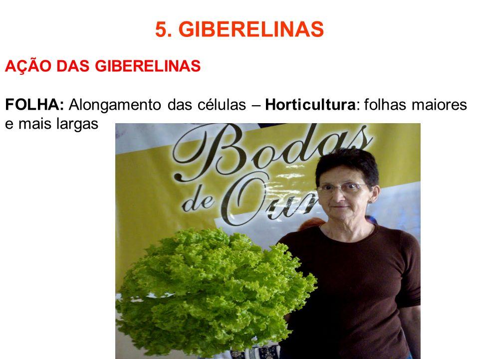 5. GIBERELINAS AÇÃO DAS GIBERELINAS FOLHA: Alongamento das células – Horticultura: folhas maiores e mais largas