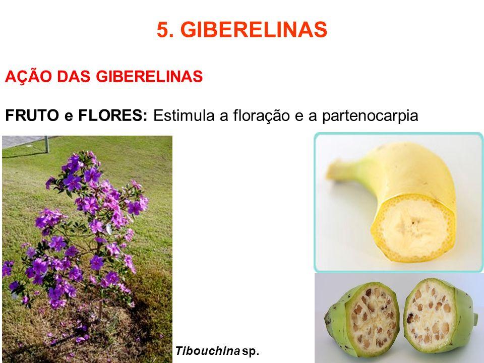5. GIBERELINAS AÇÃO DAS GIBERELINAS FRUTO e FLORES: Estimula a floração e a partenocarpia Tibouchina sp.