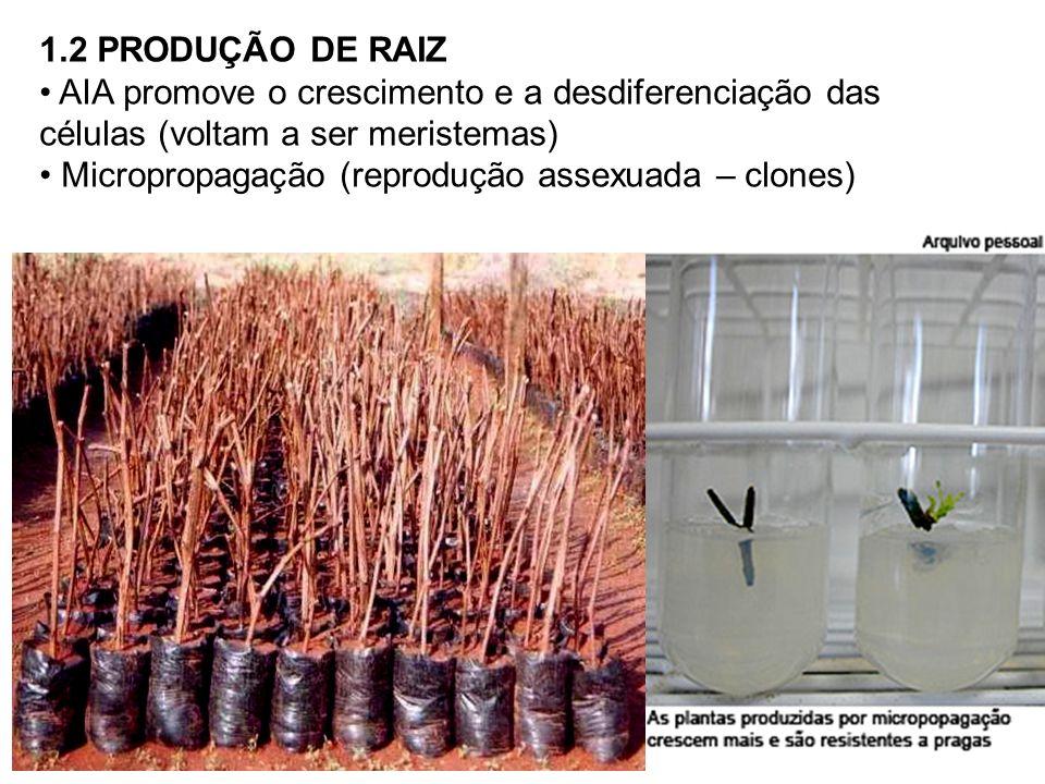 1.2 PRODUÇÃO DE RAIZ AIA promove o crescimento e a desdiferenciação das células (voltam a ser meristemas) Micropropagação (reprodução assexuada – clon